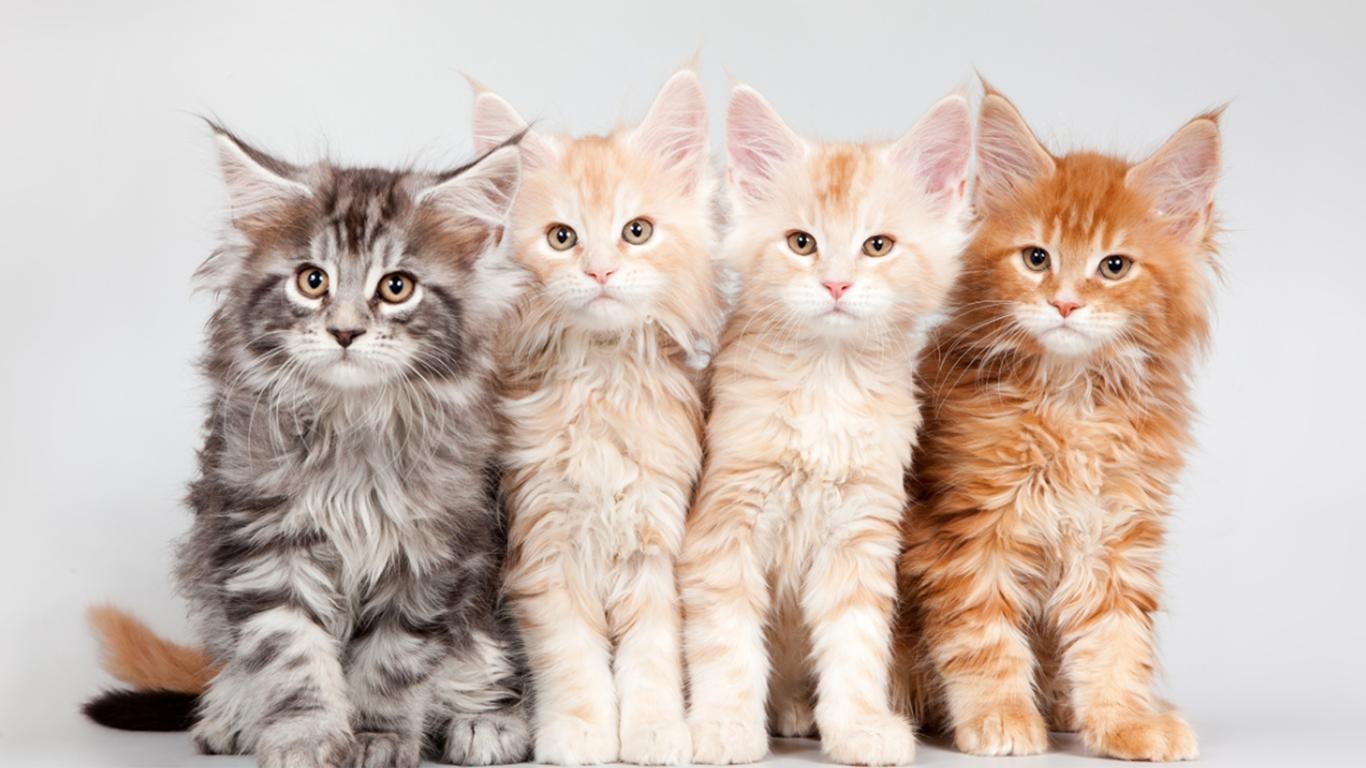 Ciri Khas dan Warna Kucing Anggora